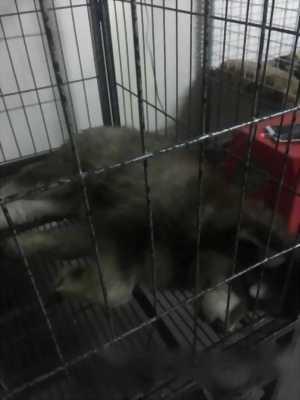 Bán chó Alaska màu đen
