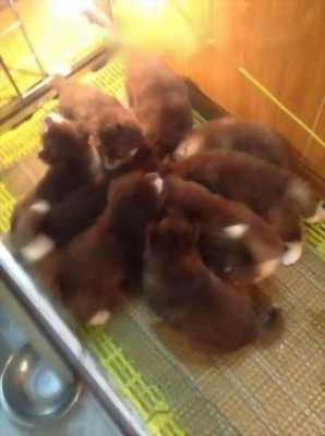 Bán chó Alaska nâu đỏ cái hai tháng