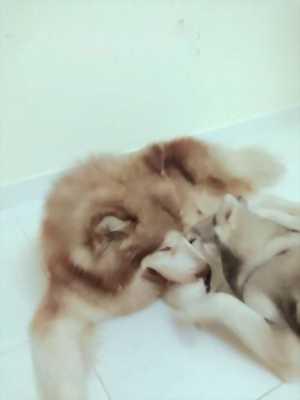 Bán chó Alaska lâu đỏ đực 1 năm tuổi