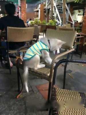 Bán chó Alaska xám trắng