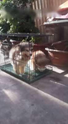 Bán chó Alaska cái hai tháng