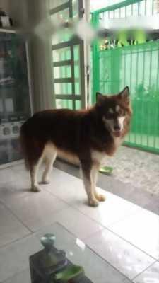 Bán chó Alaska mười hai tháng tuổi