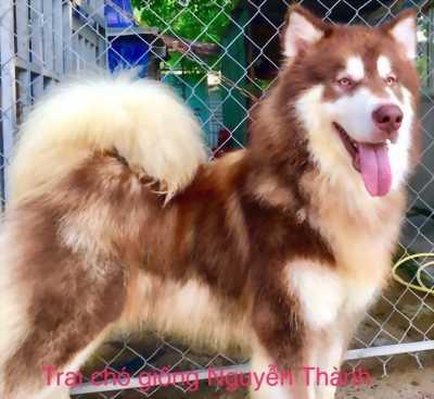 Phối loài chó Alaska,  Husky,  Samoyed
