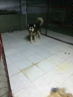 Bán chó Alaska cái 16 tháng