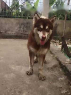 Bán chó Alaska nâu đỏ cái