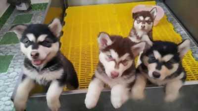 Bán chó Alaska con