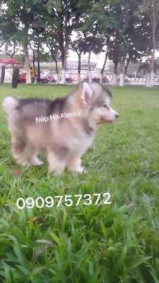 Cần bán con chó alaska xám cái hơn hai tháng tuổi