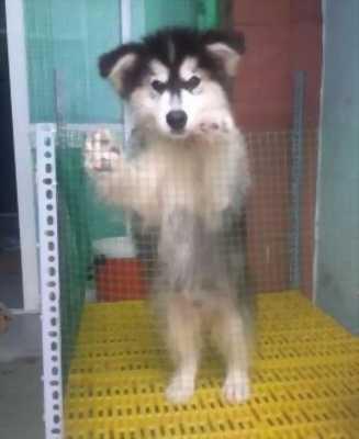 Cần bán chó Alaska đực trắng đen