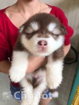 Cần bán chó Alaska nâu đỏ