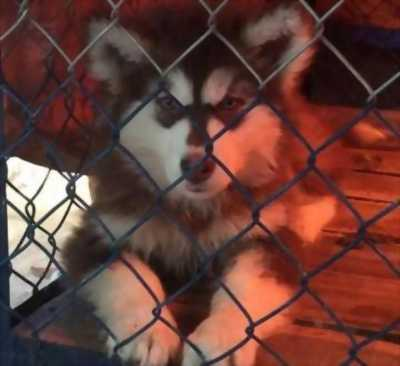 Bán chó Alaska nâu đỏ đực ba tháng tuổi