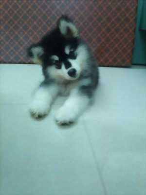 Bán chó Alaska hai tháng tuổi
