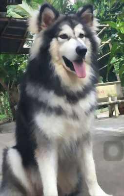 Cần bán con chó Alaska màu xám trắng