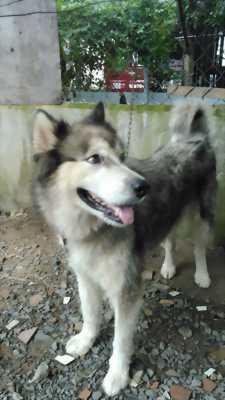 Cần bán con chó Alaska