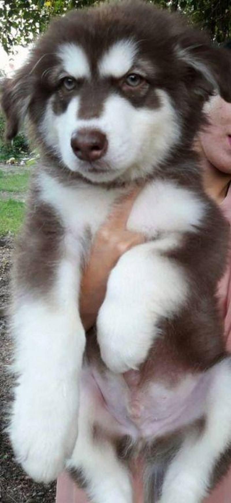 Tìm chủ mới cho chó Alaska dòng Oversize