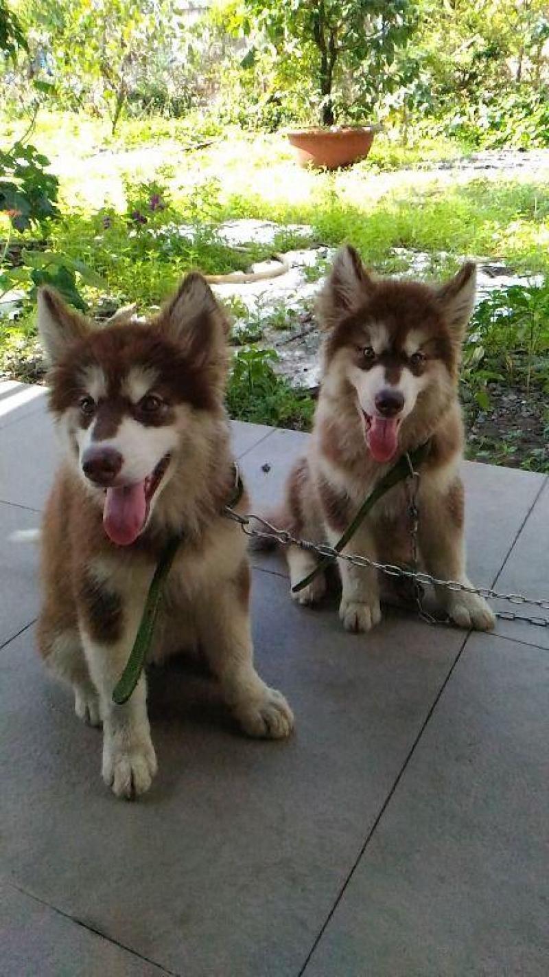 Bán nhanh chó Alaska hơn hai tháng tuổi