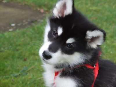Bán chó alaskas