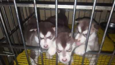 Chó Alaska gần đủ ngày xuất chuồng cần zia với chủ