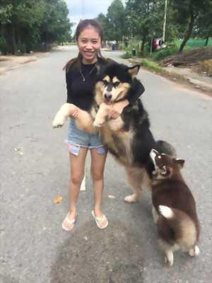 Chó Alaska tại Bình Dương, 1 tuổi rưỡi nặng 45Kg