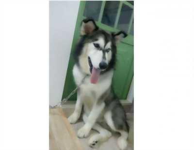 Chó ALASKA cái đã được 1 năm, rất dễ thương, nhìn là cưng, đang salo, giá cả thương lượng