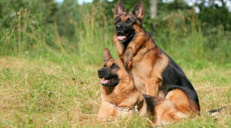 Cách phối giống chó becgie đức từ a -z