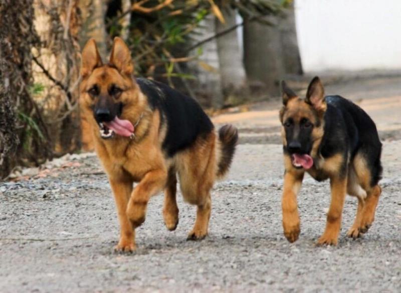 Cách nào để nhận biết chó becgie lai với chó cỏ