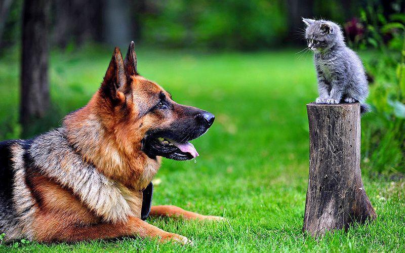 Nên tìm mua chó becgie đức thuần chủng ở đâu? địa chỉ nào