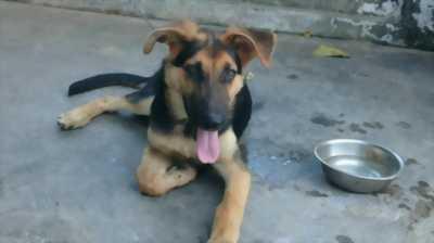 Bán chó Becgie 3. năm tháng 25 kg