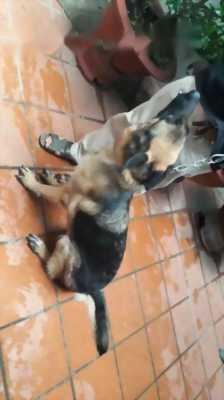 Chó becgie thuần chủng
