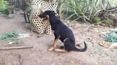Bán chó Béc Giê