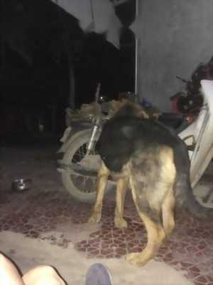 1 chú chó becgie lai bảy tháng 23kg