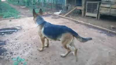 Chó becgie và chim