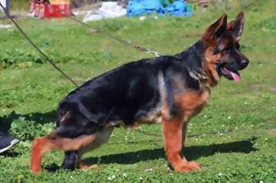 Chó becgie cái hơn 2 tuổi