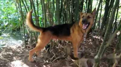 Cần bán chó Becgie đực 1 năm 1 tháng tuổi