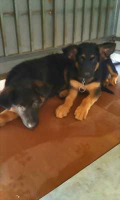 Cần bán một cặp chó bec giê thuần chủng