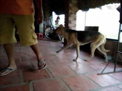 Chó becgie 1 năm tuổi