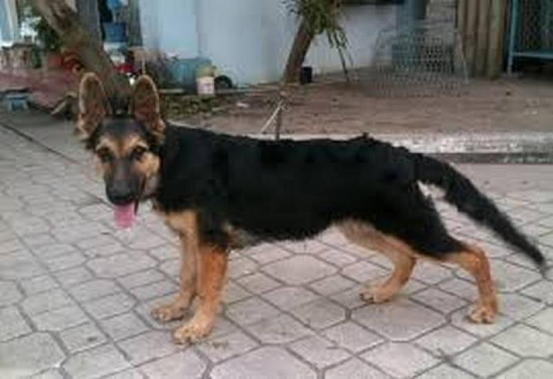 Cần bán chó becgie giống bỉ malinois cái 6 tháng