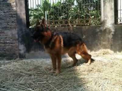 Chó becgie - con giống được nhập từ Đức về để khách thoải mái lựa chọn con giống
