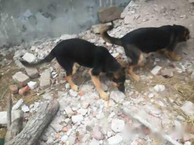 Thanh lý cặp chó lai béc