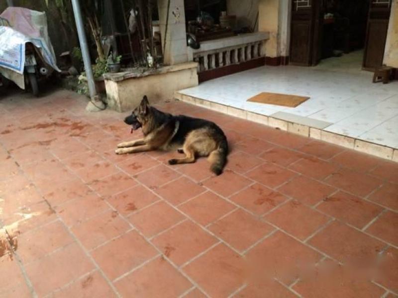 Bán chó Becgie thuần chủng