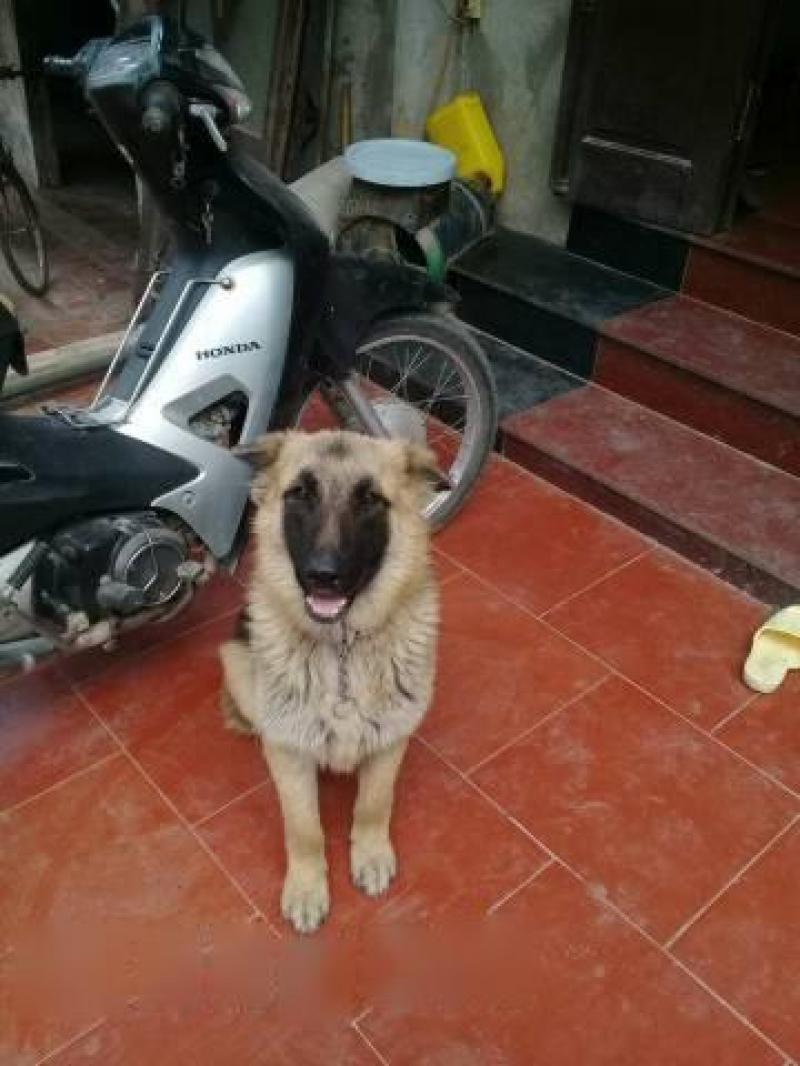 Bán chó Becgie