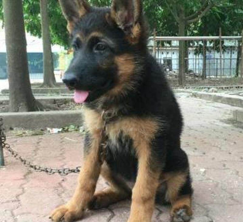 Bán Becgie cái hai, năm tháng nặng 9kg
