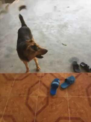 Bán con chó bec lai