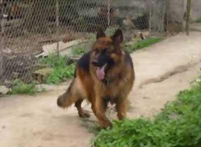 Cần bán một chú chó becgie con thuần chủng