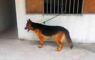 Cần bán chó Becgie Đức 10 tháng tuổi cái