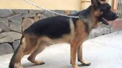 Cần bán chó Becgie Đức lai Rottweiler