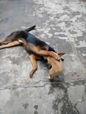 Bán F1 Rottweiler + Bec