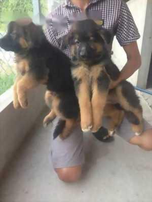 Chó Becgie con tại Hộ Phòng Bạc Liêu