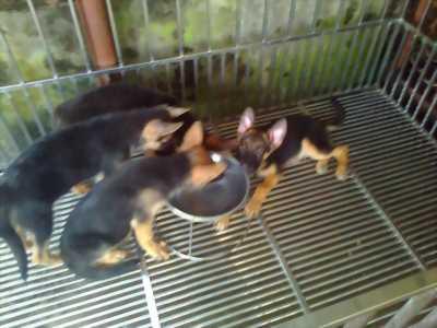 Chó becgie con 3 tháng tuổi