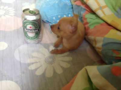 Chó phốc mini 1kg 5 tháng tuổi giới tính đực