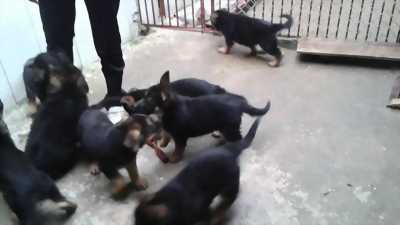Bán chó lai becgie 2 tháng tuổi giá 500